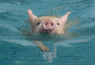 Dana blog swimming-piglet